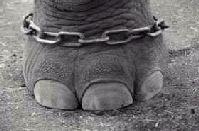-elefante-atado